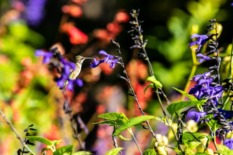 2018-08-26-Brookside hummingbirds-403.jpg