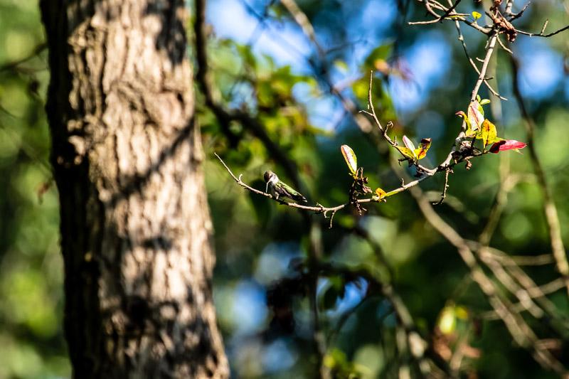 2018-08-26-Brookside hummingbirds-452.jpg