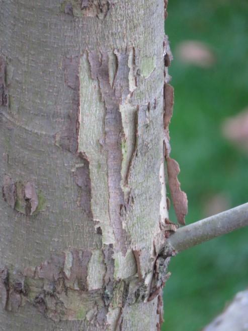 bark2 sycamore.jpg