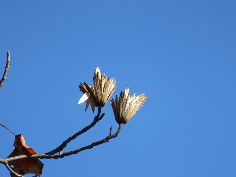 seed tulip poplar.jpg