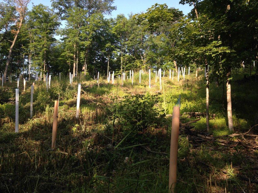oak sapling tubes - Plantra comparison.jpg