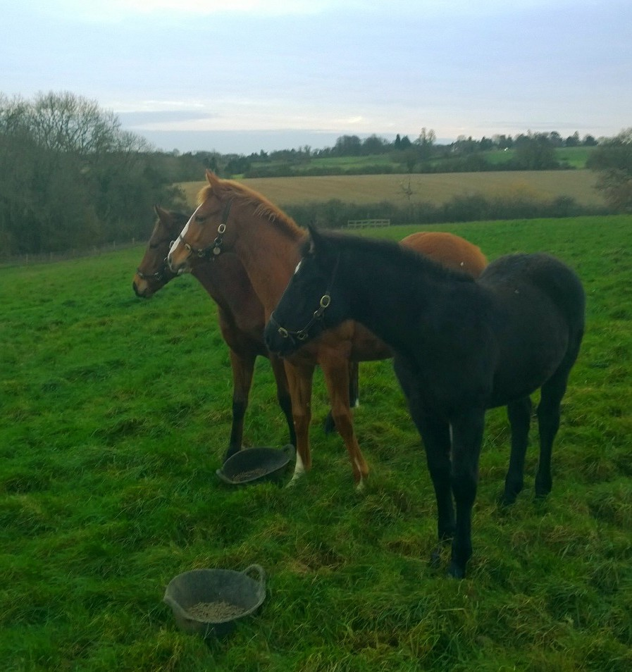 Speedy (bay) and Quick (chestnut) enjoying life in the field at Culworth Grounds with their new friend Pirate