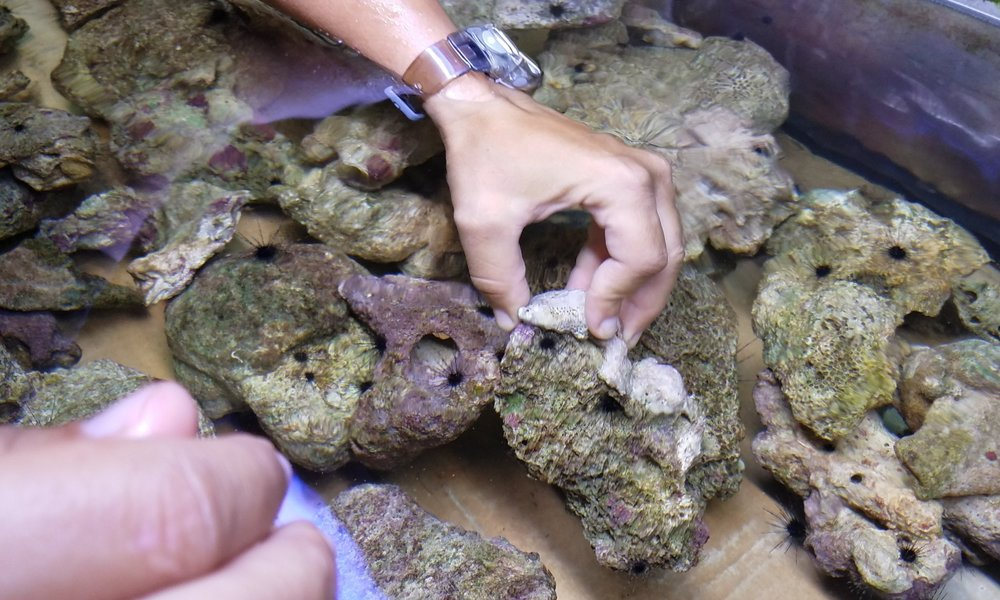 Diadema Restoration Project - Funded by the National Oceanic and Atmospheric Administration of the U.S. Department of Commerce, this is the flagship project of Dr. Stacey M. Williams. Her discovery of high rates of settlement of juvenile long-spined black sea urchins on drifting plates in the shelf edge at La Parguera during her dissertation work led to the establishment of a robust culturing and out planting program based out of the laboratory facilities at the Marine Science Department of the University of Puerto Rico at La Parguera.