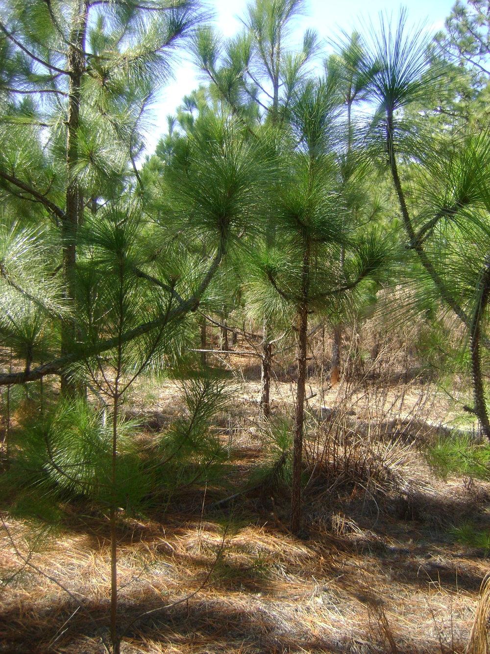 pinestrawfields4.JPG