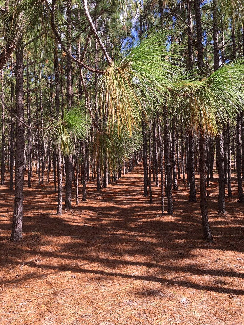Longleaf pine tree shedding their pine needles.
