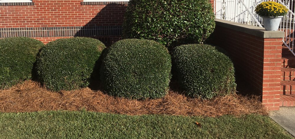 Pine straw mulch around shrubs.