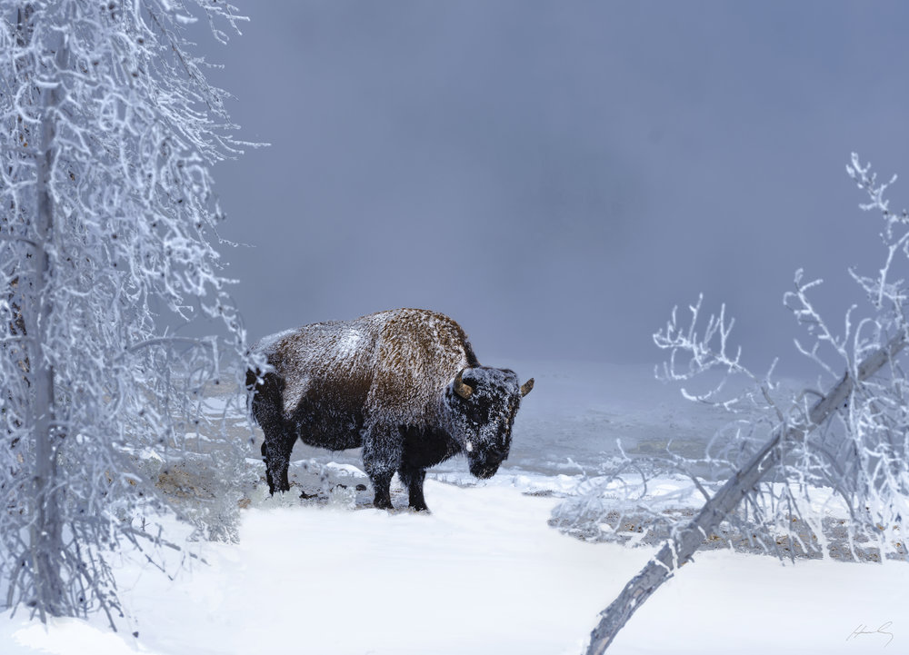 """Buffalo at 27 Below Zero"" Yellowstone N.P., Wyoming"
