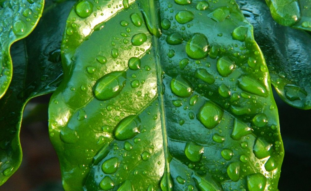 leaf-rain-coffee-water-38435.jpg