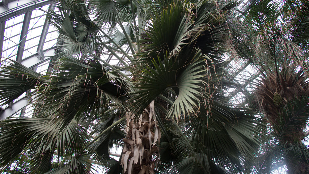93 year old Sheelea palm tree that has outgrown its home at Garfield Park Conservatory.