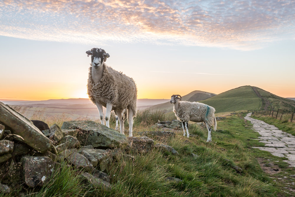 Mountain Sheep - Photobombed by mountain sheep at sunrise -  BUY PRINT HERE