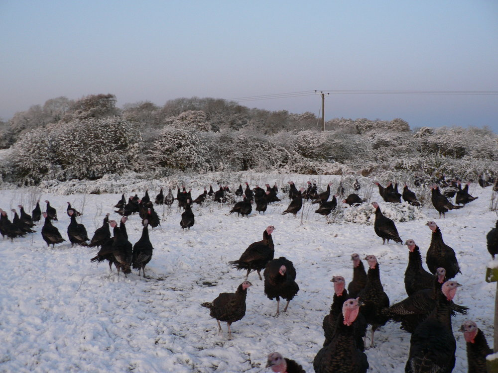 Bramble Farm turkeys in the snow