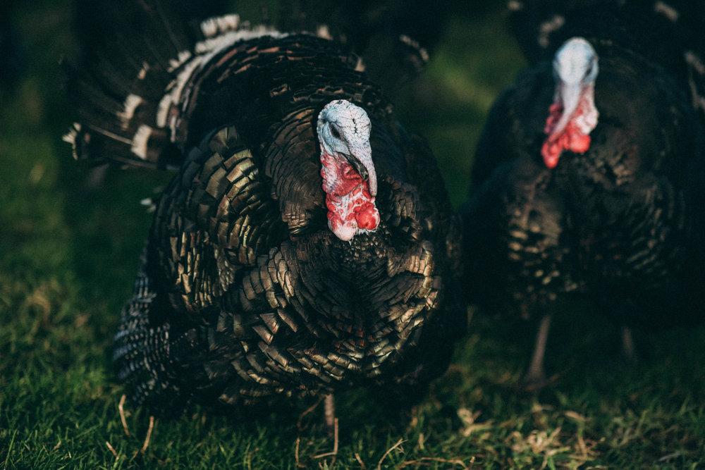 Bramble-farm-free-range-turkeys-surrey-057.jpg