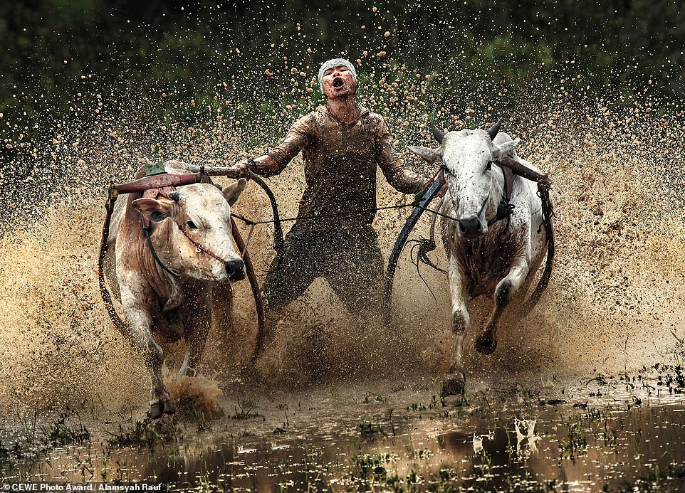 PHOTOGRAPH OF THE WEEK   In Padang, Indonesia, farmers race their water buffalo across the rice fields before farming season, believing it is lucky if their buffalo wins the race.   © Alamsyah Rauf