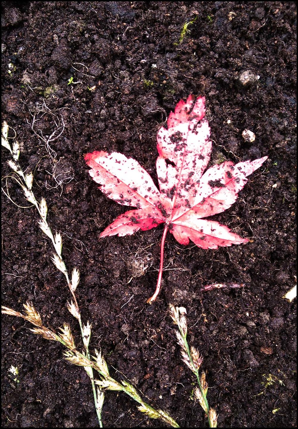 Red-Leaf-in-the-dirt.jpg