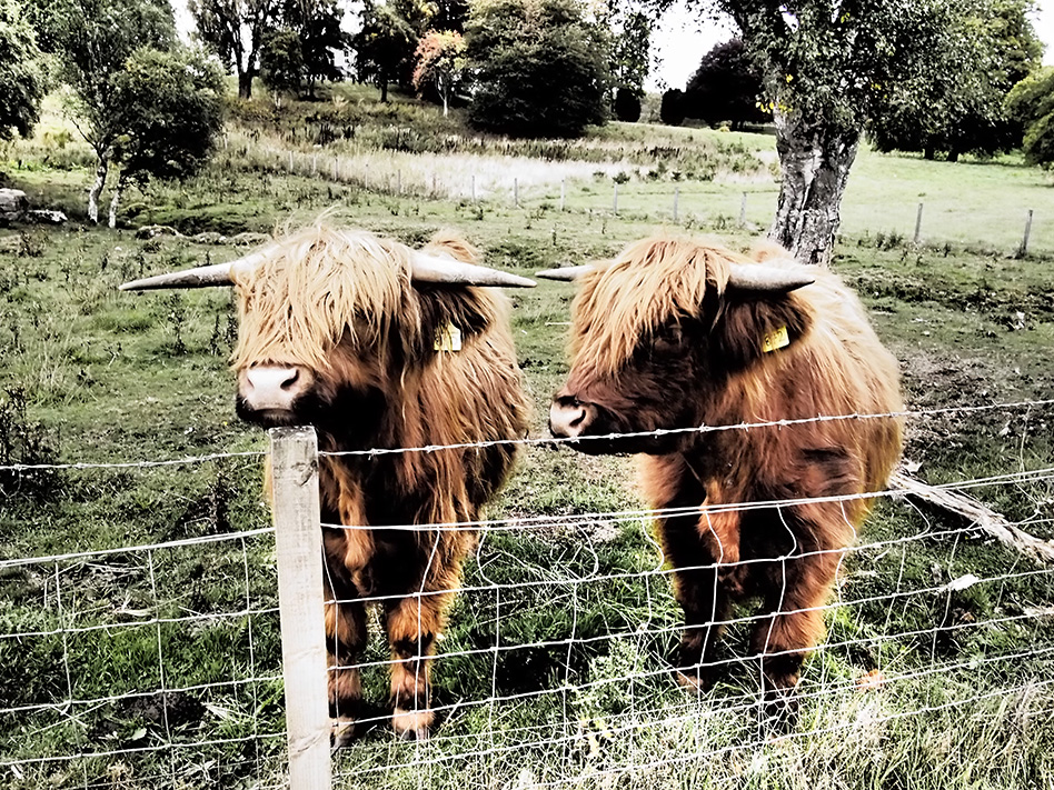 Hamish and Henrietta Highland Cow Love, Rebecca Johnstone
