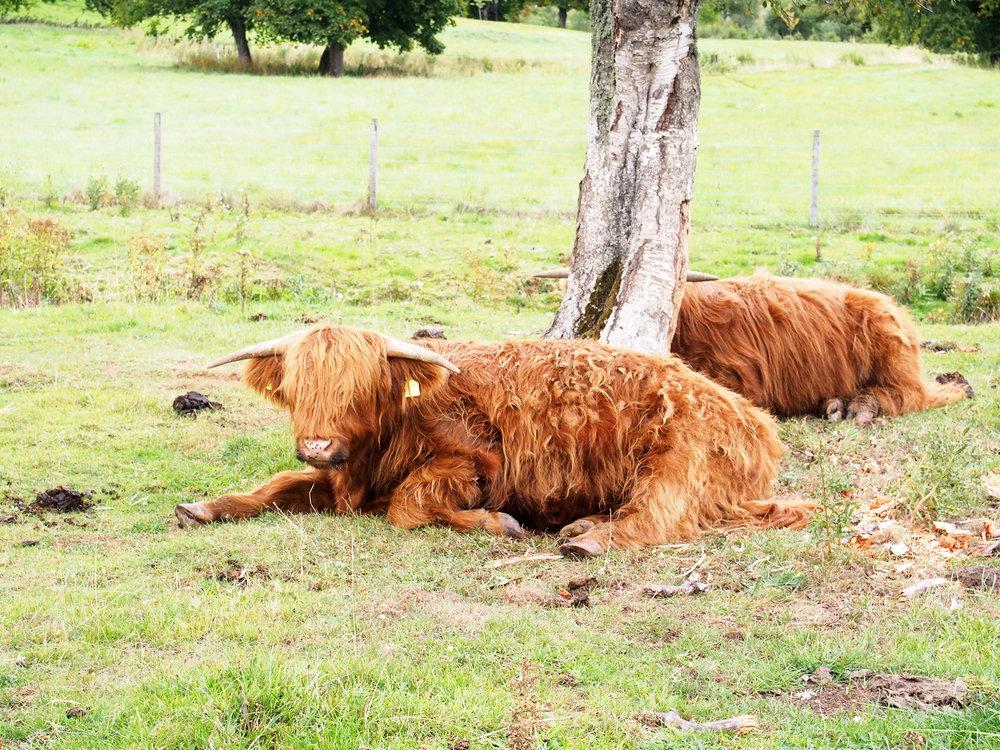 Highland Cows, Rebecca Johnstone