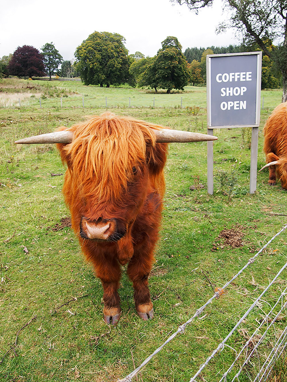 Highland Cow Coffee Shop, Rebecca Johnstone