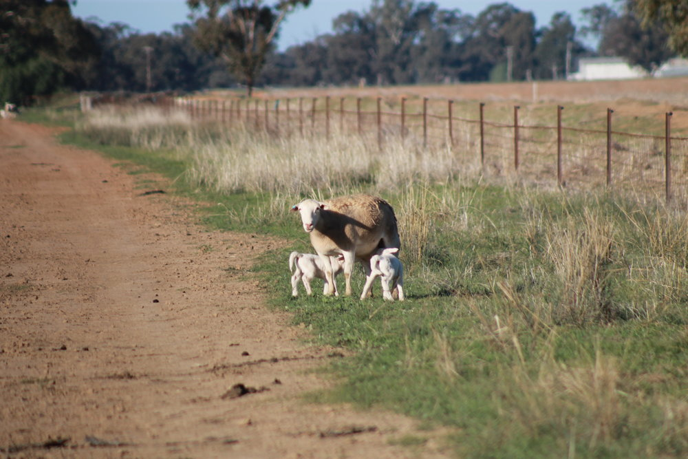 Healthy Dorper sheep on our farmer's healthy soil in previous years.