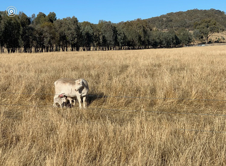 one of the drought ewes and her lamb on our farmer's land freshly arrived.