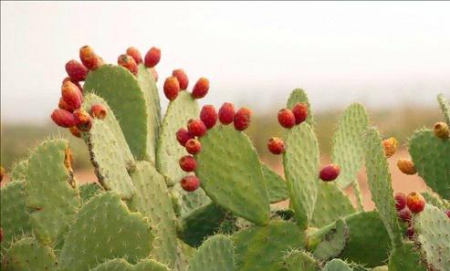 Nopal Plant.jpg
