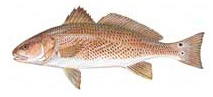 Spottail Bass  - Red Drum