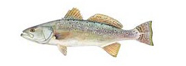 Trout - Spotted Seatrout