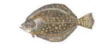Flounder - Southern or Summer