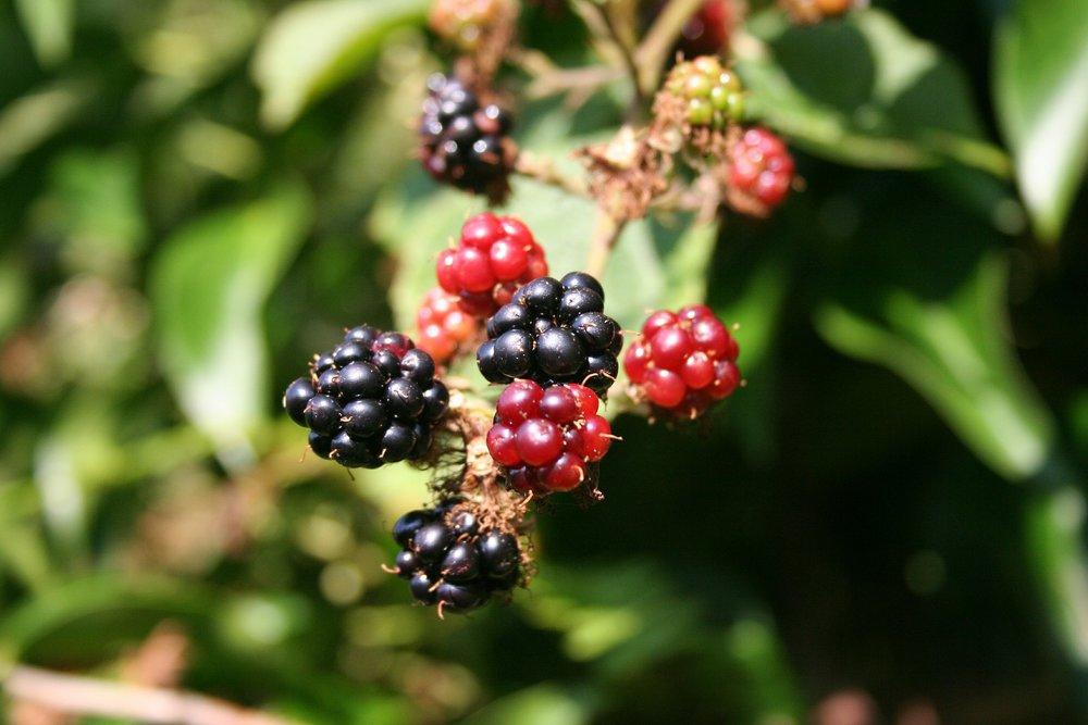 blackberry-200535_1920.jpg