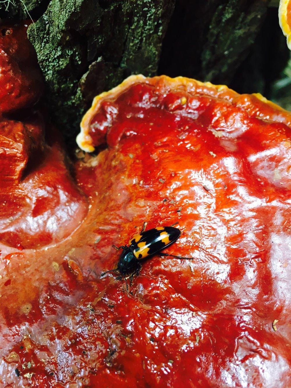 Picnic beetle, Joyce Kilmer Forest