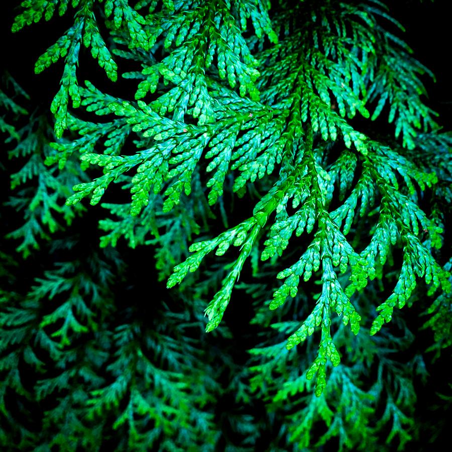 macro pine-8877.jpg