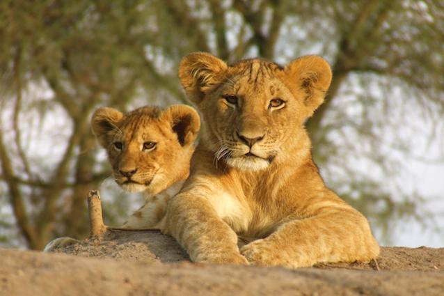 lionandcub1.jpg