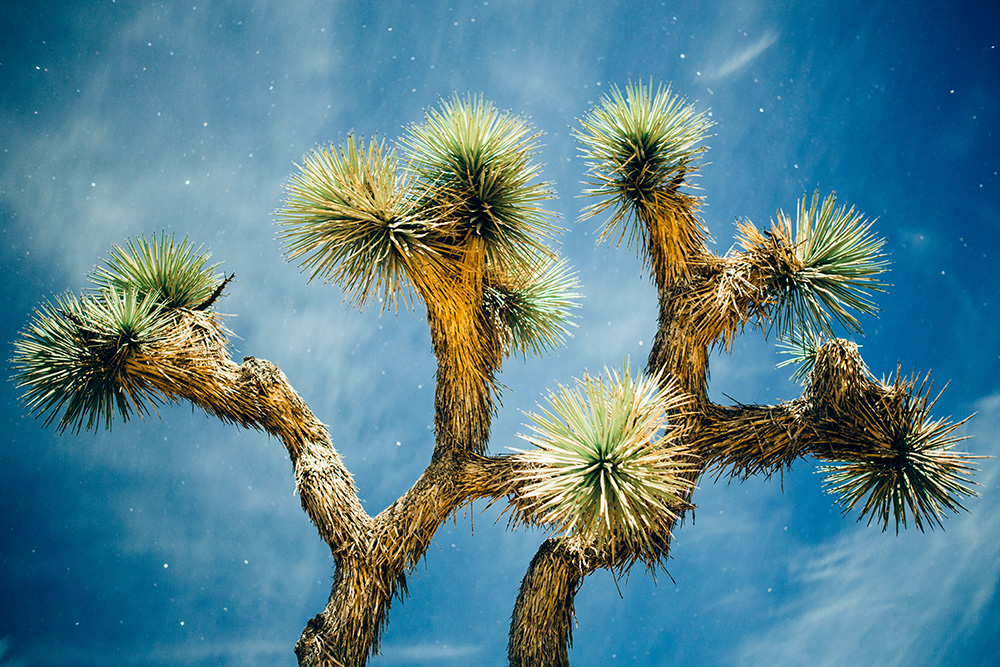 JOSHUA TREE - Stock Photography
