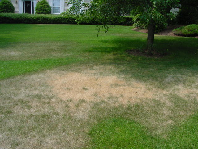 lawn drought.jpg