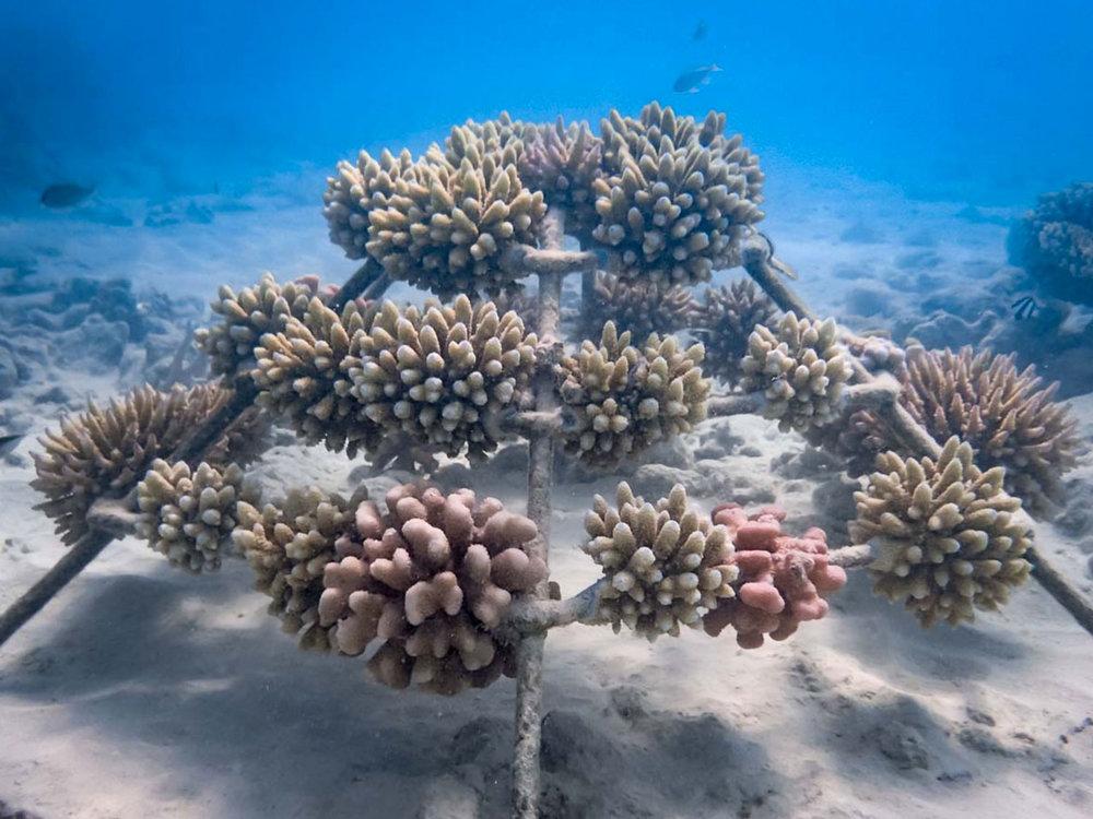 Pale corals