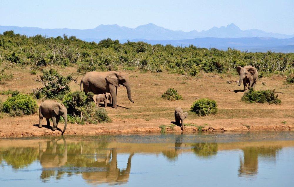 elephant-herd-of-elephants-animals-african-bush-elephant-52717.jpeg