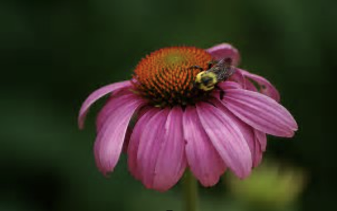 The Echinacea Project