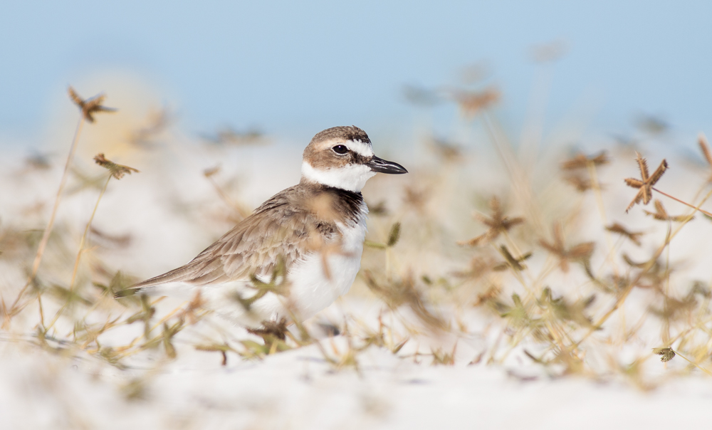 Wilson's Plover in Florida grasses