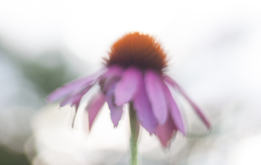I deliberately missed focus on this coneflower, leading to a more painterly image.