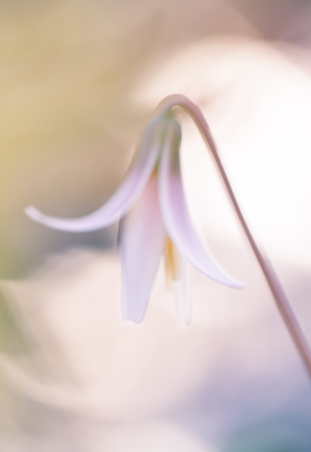 Flower-photography-at-sunset-trout-lily.jpg