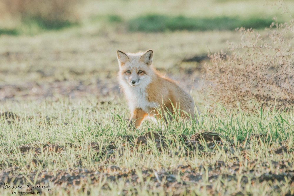 Foxes in Fresno 2016 - Bessie Young Photography-19.jpg