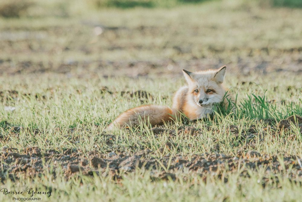 Foxes in Fresno 2016 - Bessie Young Photography-13.jpg