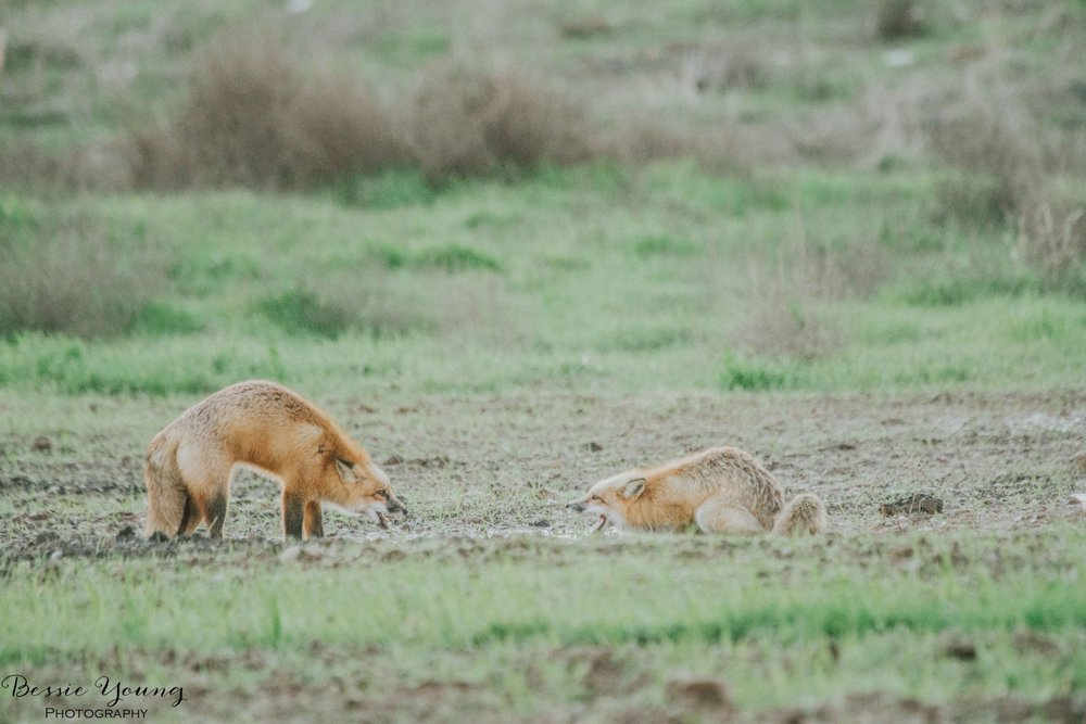 Foxes in Fresno 2016 - Bessie Young Photography-30.jpg
