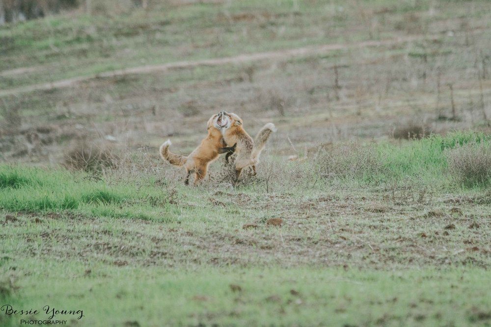 Foxes in Fresno 2016 - Bessie Young Photography-31.jpg
