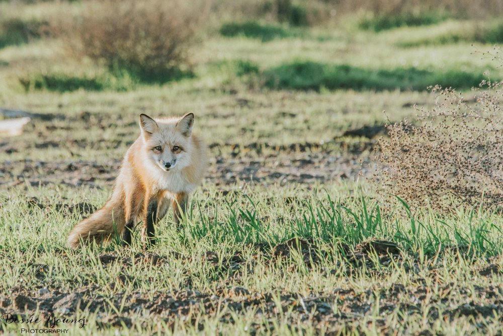Foxes in Fresno 2016 - Bessie Young Photography-5.jpg