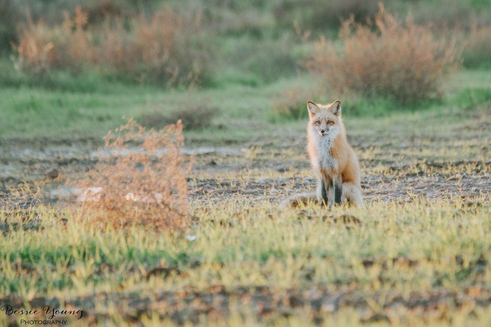 Foxes in Fresno 2016 - Bessie Young Photography-26.jpg