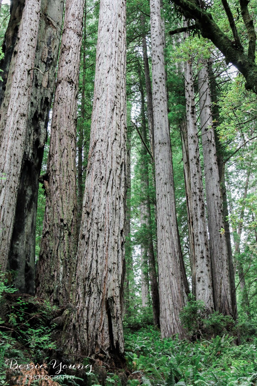 Redwood Photograph by Bessie Young