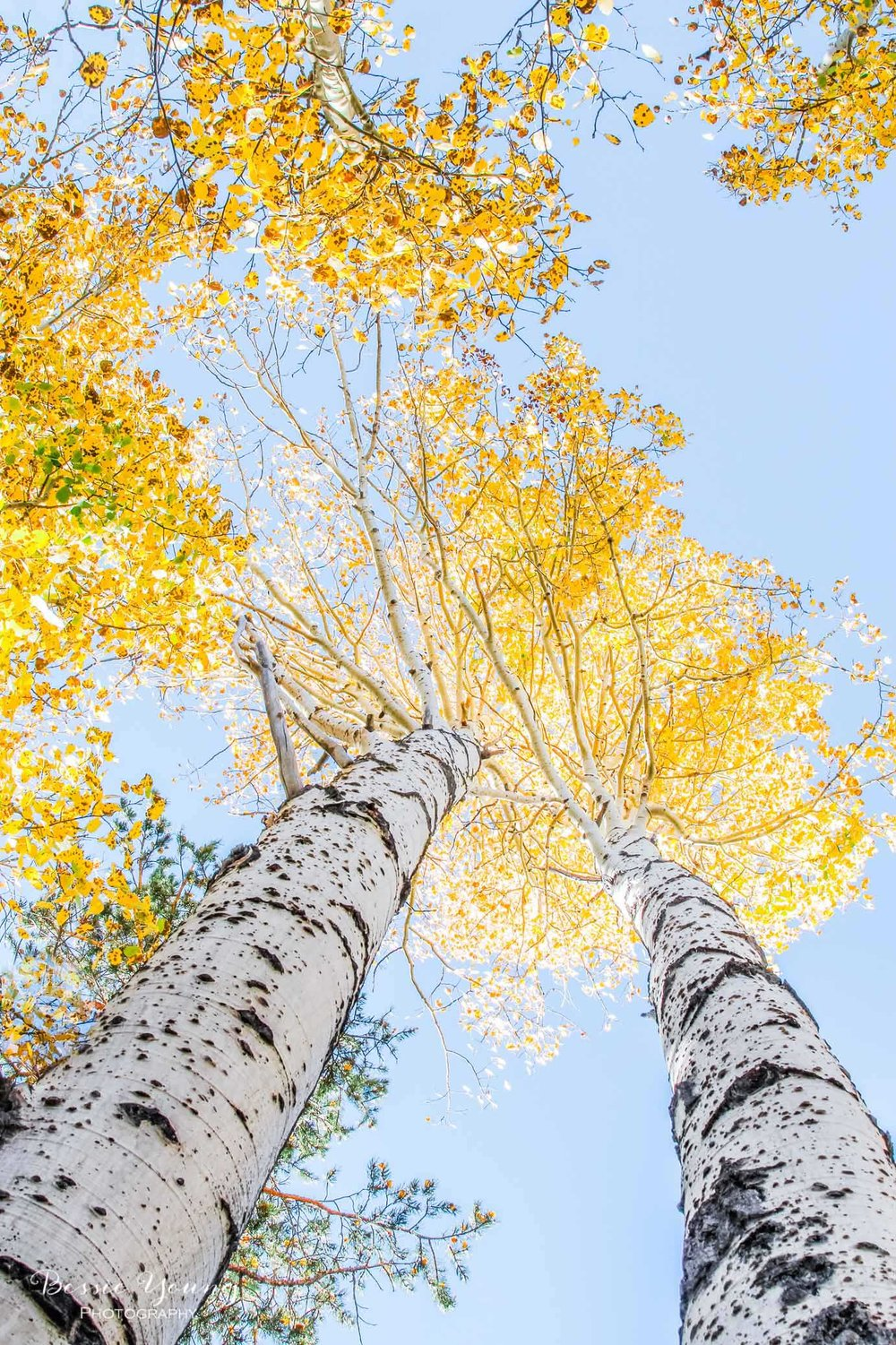 Aspen Fine Art Print by Bessie Young
