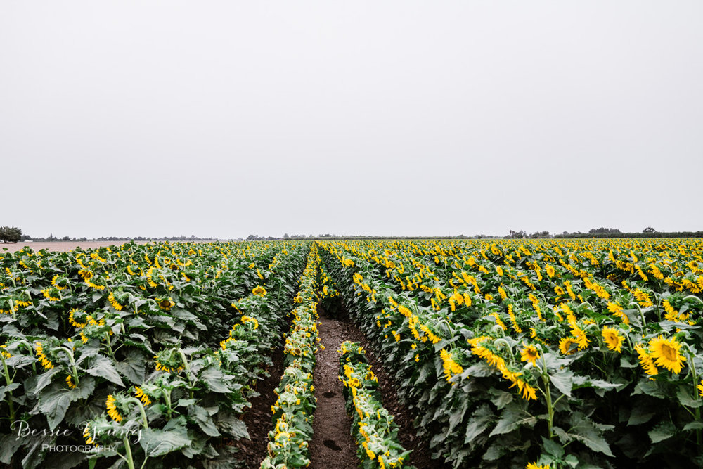 Landscape Photography Tips and Tricks - Sunflower Fields in Sacramento by Bessie Young Photography - Suflower Photograph