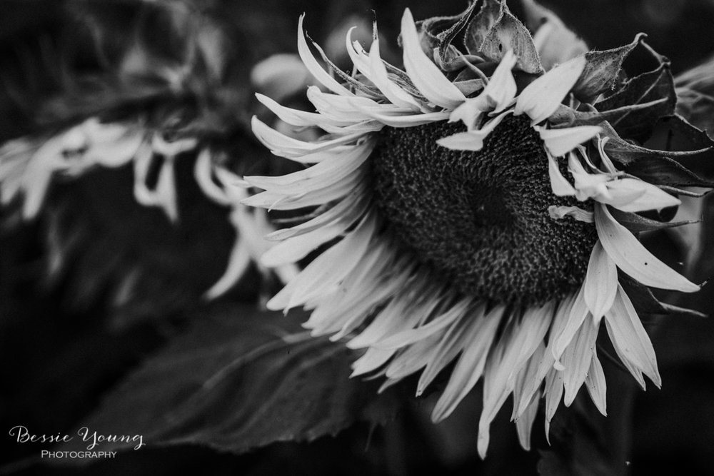 Landscape Photography Tips and Tricks - Sunflower Fields in Sacramento by Bessie Young Photography - Sunflower Photograph