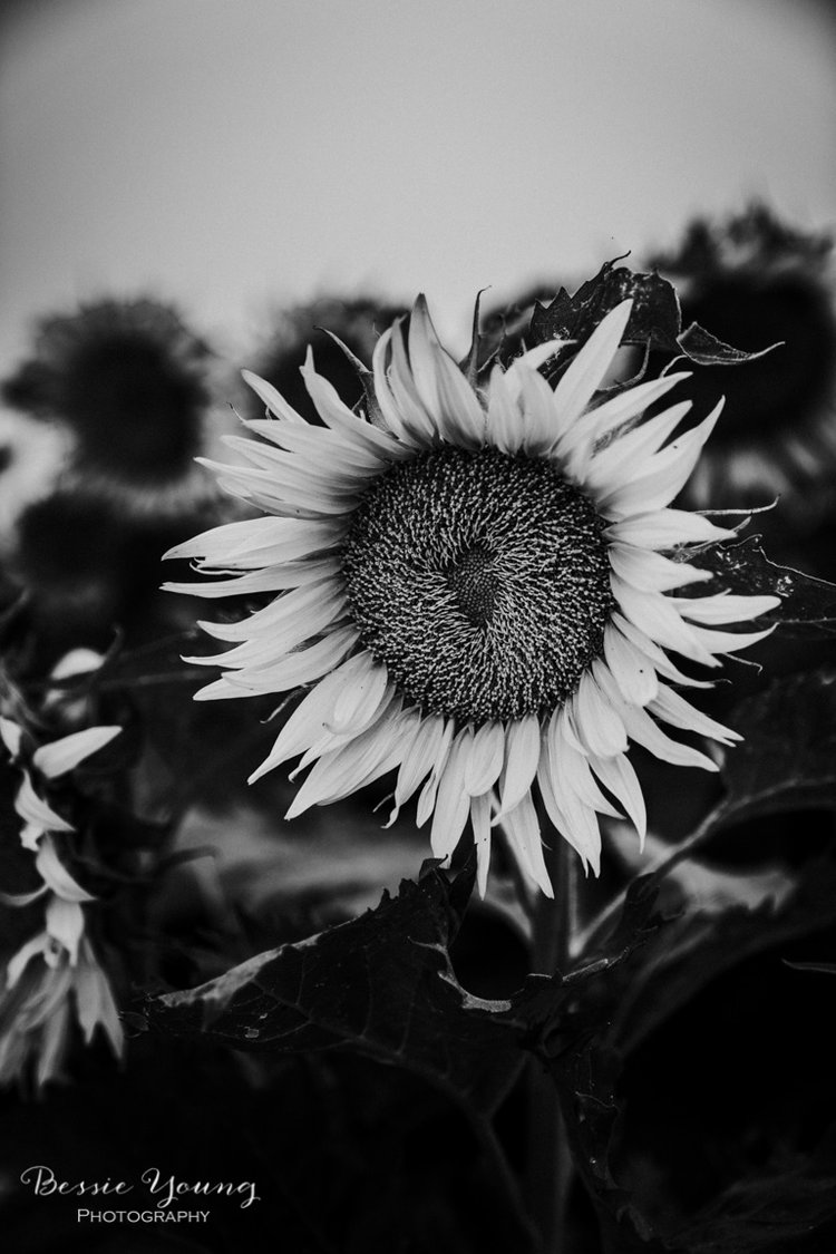 Sunflower print black and white fine art photograph 2